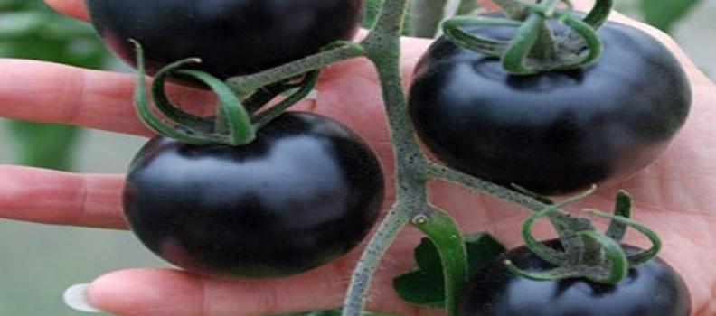 Cà chua đen giúp ngừa ung thư kỳ diệu